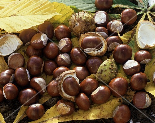 Many horse chestnuts and chestnut leaves