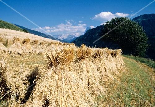 Harvested Oat Field