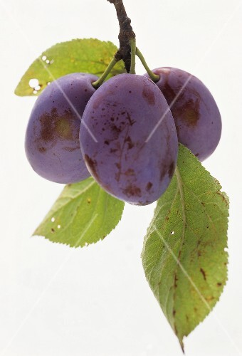 Two damsons with stalk and leaves