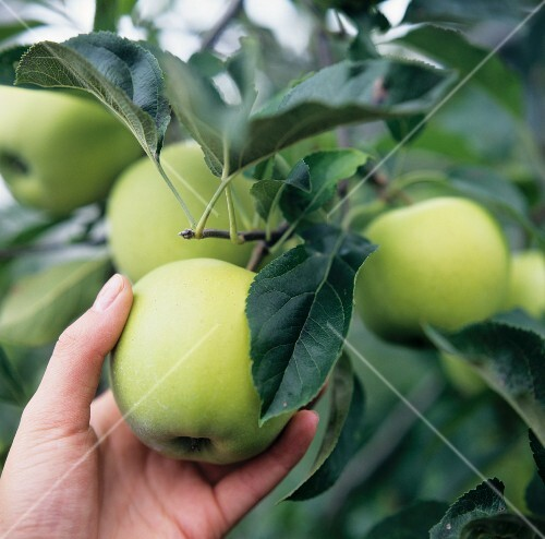 A Granny Smith apple being picked from the tree