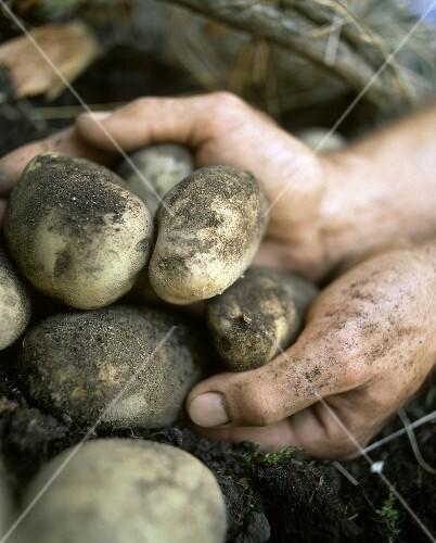 Hands holding freshly dug potatoes