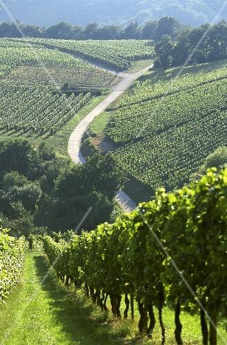 Well-kept vineyards at Andlau in Alsace, France