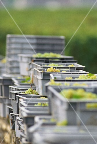 Freshly picked Chardonnay grapes in crates, Burgundy