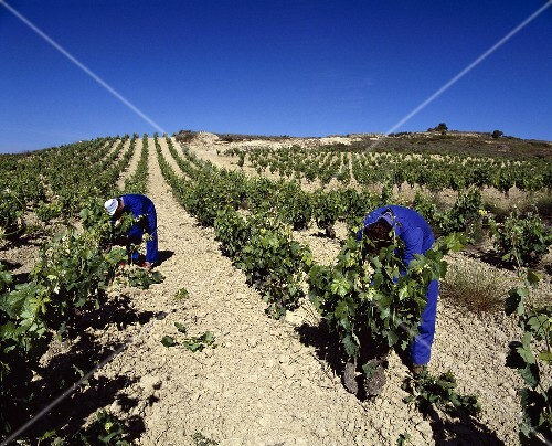 Early summer vine pruning, Herederos de Marques de Riscal,Rioja