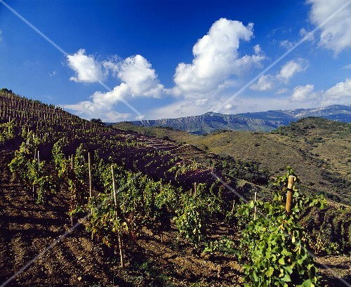 Clos l'Ermita, Alvaro Palacios' vineyard, Gratallops, Spain