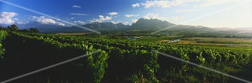 Fairview Winery, vineyards with Simonsberg, Paarl, S. Africa
