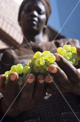 Frau hält Chardonnay-Trauben in ihren Händen, Südafrika