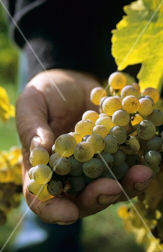 Hand holding Riesling grapes in vineyard