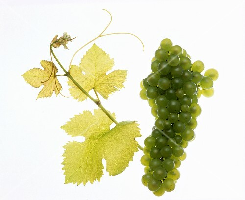 Viognier grapes with vine leaf