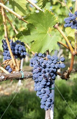 Nebbiolo grapes, Tuscany, Italy