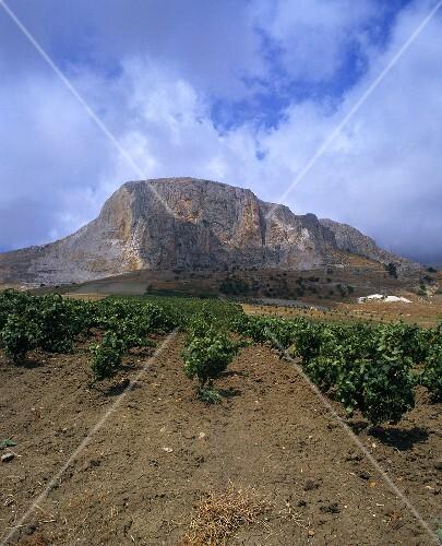 Weinberg bei Caltabellotta, nahe Sciacca, Sizilien, Italien