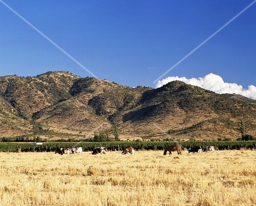Vineyard in Valle de Rapel, Peralillo, Chile