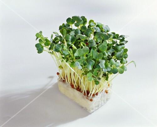 Daikon cress on growing medium