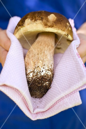Hands holding a fresh cep on cloth