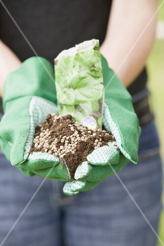 Hands holding spinach seeds in soil