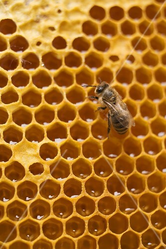 Honeycomb with bee (detail)