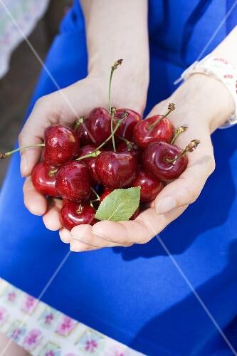 Hands holding fresh cherries