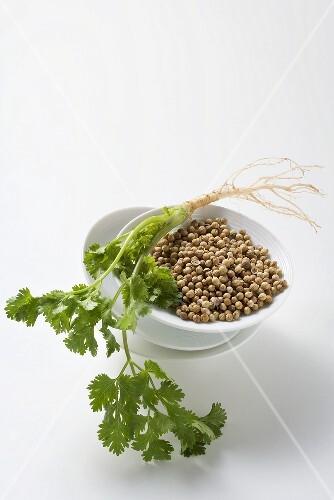 Bowl of Coriander Seeds; Cilantro