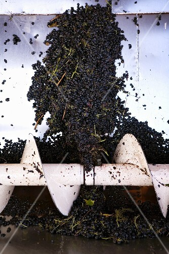Cannonau grapes in a crusher at the Cantine Argiolas vineyard, Sardinia, Italy