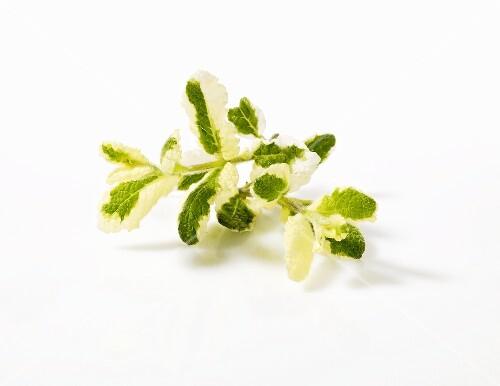 Pineapple mint (Mentha suaveolens 'Variegata')