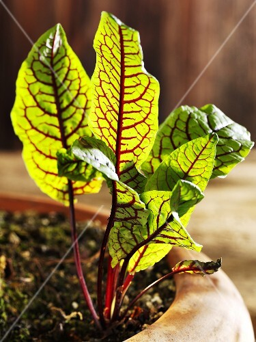 Beetroot plant in planter