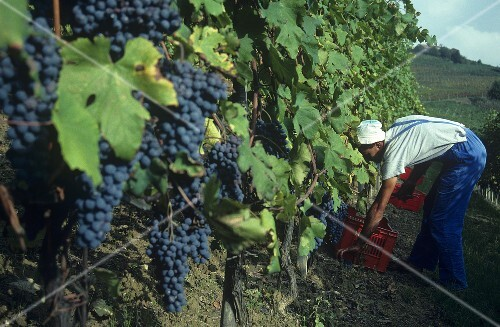 Picking Nebbiolo grapes for Barolo, Monforte d'Alba, Piedmont