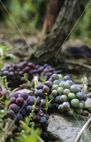 Grapes lying on the ground after 'green' grape harvest