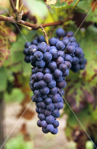 Ripe Domina grapes hanging on the vine (new variety)