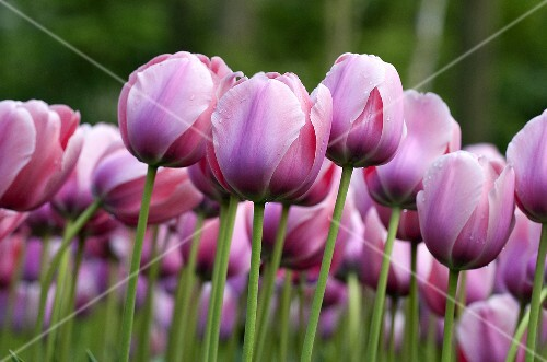 A bed of pink tulips (cultivar: Salmon)