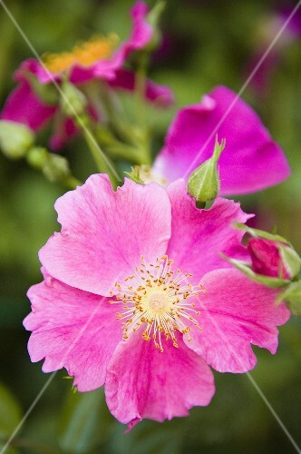 Wild roses on the bush