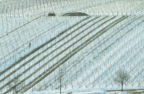 Wintry landscape of vines near Leistadt, Palatinate