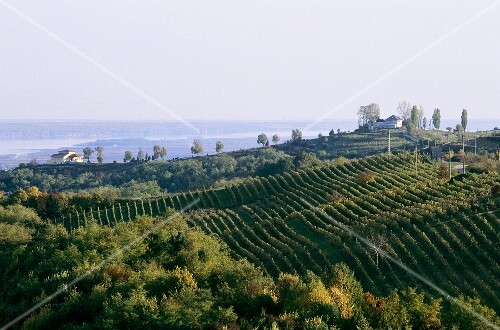 Vineyards of Prince Stirbey Estate, Dragasani, Romania