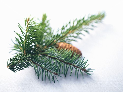 Fir sprig with cone