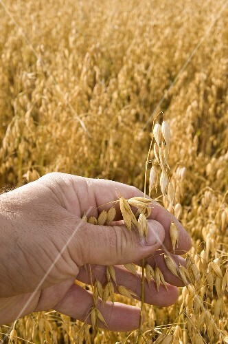 A hand checking oats in a field
