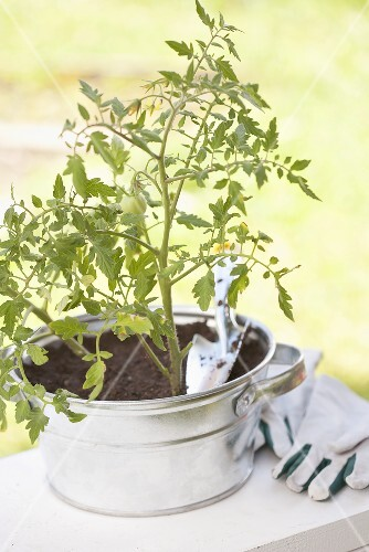 A tomato plant in a pot with a trowel