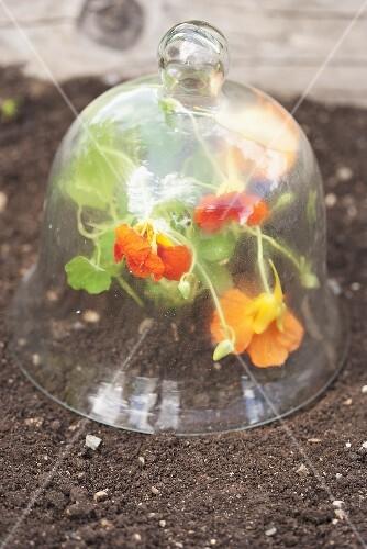 Nasturtiums under a glass cloche in a flower bed