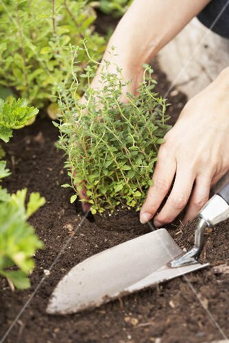 A woman planting thyme in a flower bed