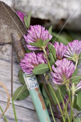 Clover flowers and a garden trowel