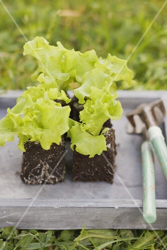 Lettuce plants and garden tools