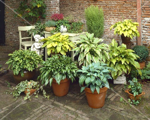 Various Different Hostas In Pots License Images Stockfood 349305