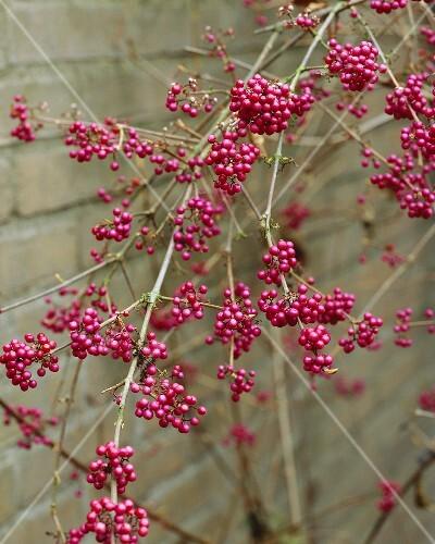 Chinesische Schönfrucht (Callicarpa bodinieri var. giraldii)