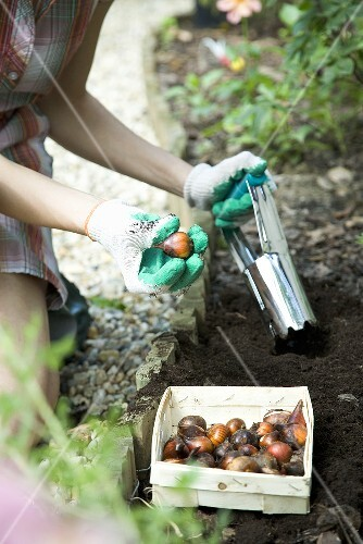 Bulbs being planted