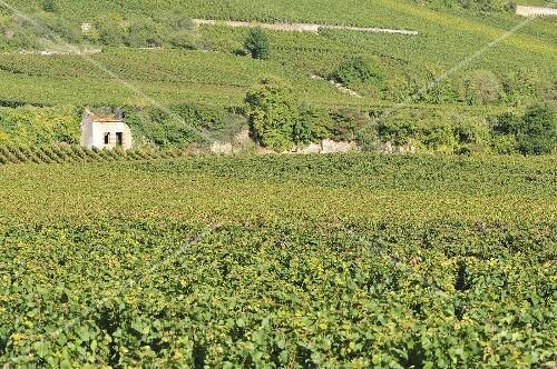A grape growing region in Burgund