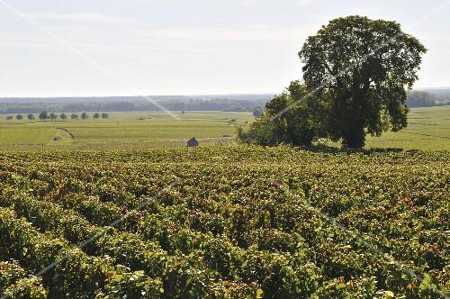 Vineyard Pernand-Vergelesses