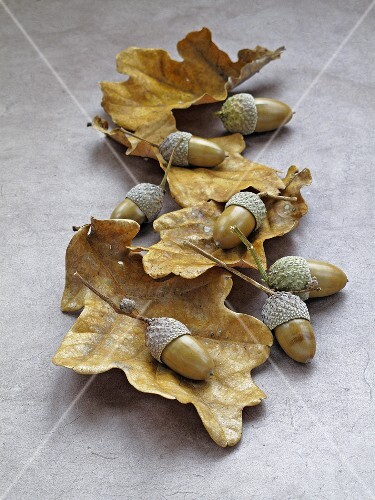 Acorns and dry oak leaves