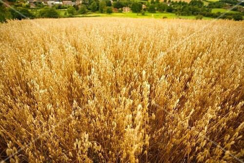 Field of oats in Wiltshire, England
