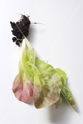 A young lettuce plant
