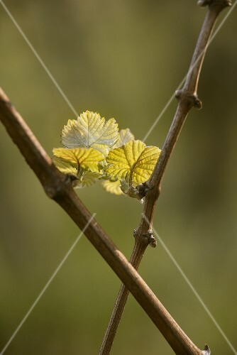 Vine shoots in spring
