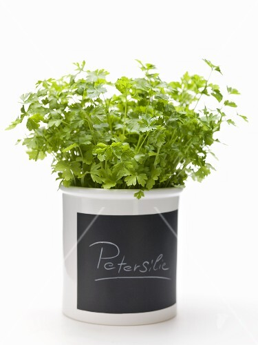 Parsley in a flowerpot