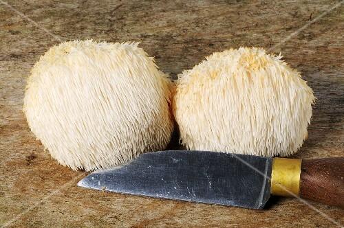 Zwei Affenkopfpilze (Hericium erinaceus) mit einem Messer